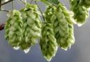 La nascita del Cascade, il luppolo che cambiò la birra per sempre